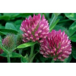 RED CLOVER SEEDS FOR SPROUTING
