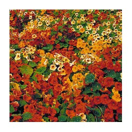 NASTURTIUM RANGEVIEW RAINBOW MIX