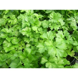 Parsley - Continental, Italian Giant