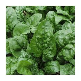 SPINACH - WINTER GIANT - ORGANIC
