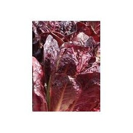 LETTUCE - RED COS