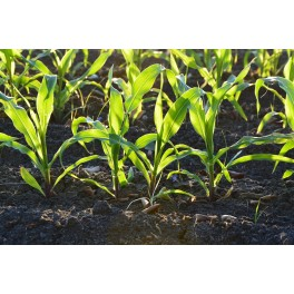 CORN SEEDS FOR SPROUTING ORGANIC