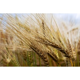 TRITICALE SEEDS FOR SPROUTING - ORGANIC