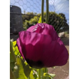 POPPY-PURPLE PASSION