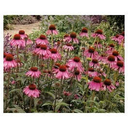 ECHINACEA - NARROW LEAF - ORGANIC