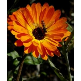CALENDULA - TOUCH OF RED