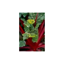 SILVERBEET-RUBY RED