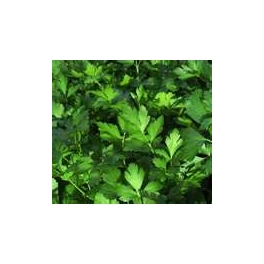 PARSLEY - FLAT LEAFED ITALIAN