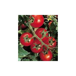 TOMATO - VINE - CAMP JOY