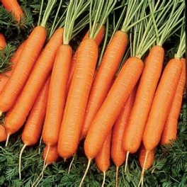 CARROT - MANCHESTER TABLE