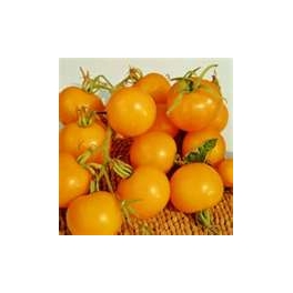 TOMATO-VINE-GOLDEN SUNRISE
