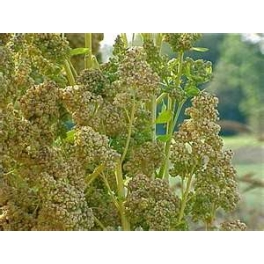 QUINOA SEEDS FOR SPROUTING ORGANIC