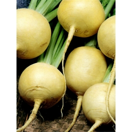 TURNIP-GOLD BALL - ORGANIC